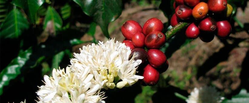 granos de café-arabica