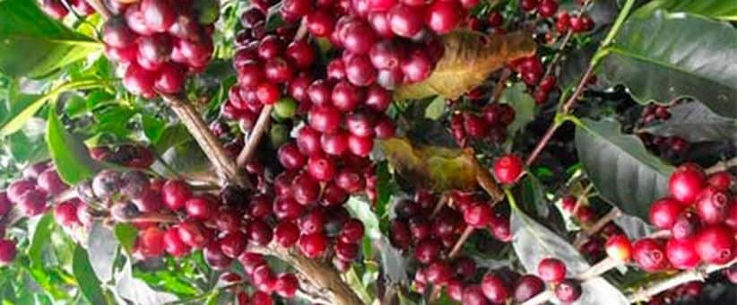 planta-de-cafe-robusta